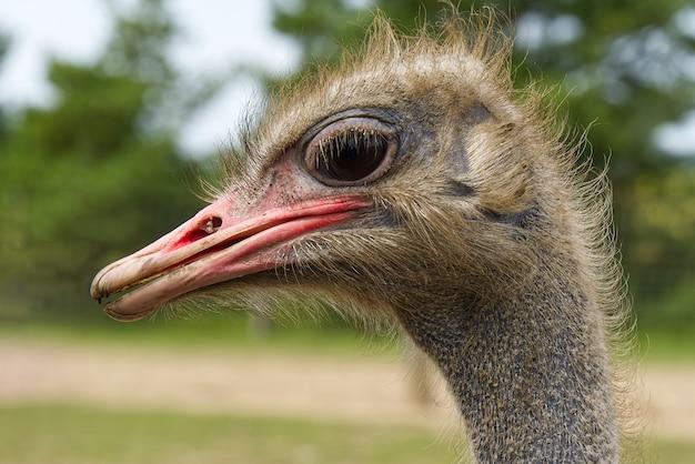 타조 클로즈업의 초상화입니다. 타조 머리 struthio camelus.