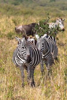 Портрет пары зебр в саванне
