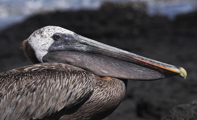 Портрет пеликана. морские птицы. галапагосские острова. эквадор.