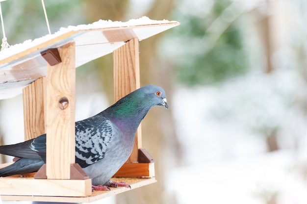 Портрет голубя в кормушке