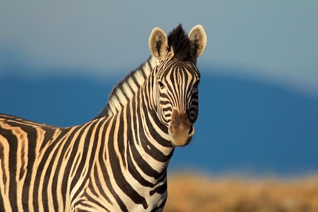 Портрет равнинной зебры (burchells) (equus quagga burchelli), южная африка