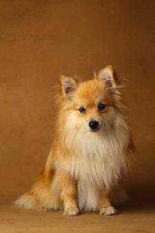 スタジオの茶色の背景にポメラニアンスピッツ犬の肖像画