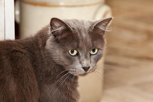 Портрет красивой кошки шартре с длинными волосами и желтыми глазами.
