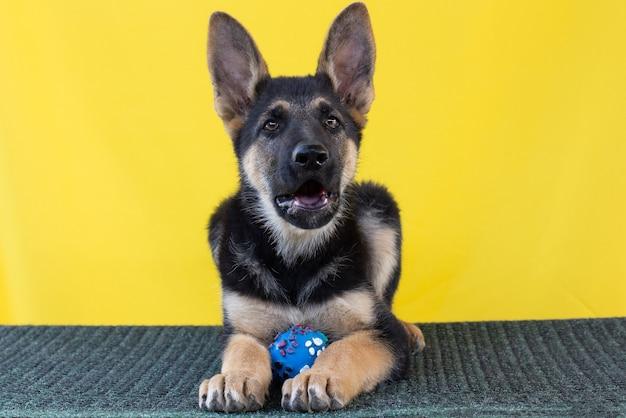 ボールと黄色の壁の背景の前に子犬純血種のジャーマンシェパードの肖像画