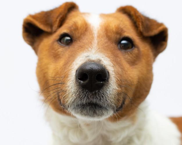 Портрет породистого гладкого фокстерьера перед носом собаки белый фон