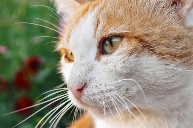 Портрет красно-белого кота