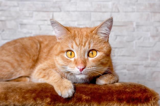 Портрет лица рыжей кошки. большие умные глаза и розовый нос