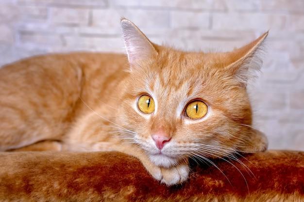 Портрет лица рыжей кошки