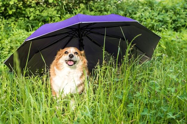 Портрет рыжей собаки в траве под зонтиком. концепция страхования животных. защита животных. защита собак.