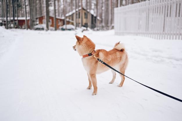 컨트리 하우스의 배경에 하얀 눈에 겨울에 검은 가죽 끈으로 빨간 시바 inu 강아지의 초상화