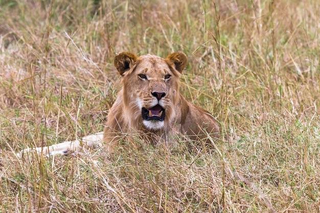 Портрет отдыхающего на траве молодого льва кения африка