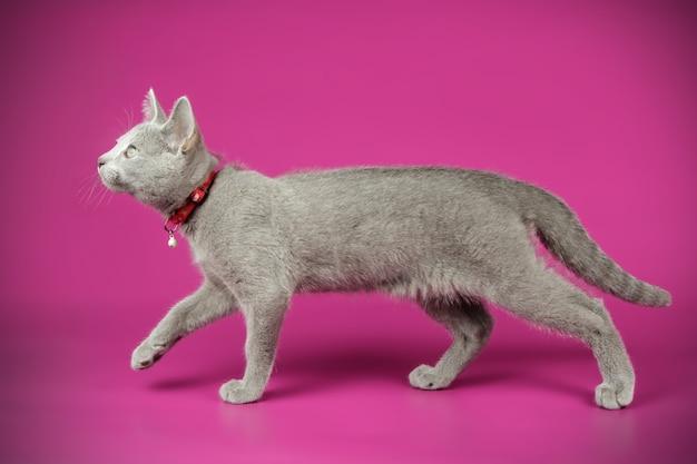 Портрет русской голубой кошки на цветной стене