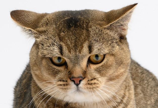 Портрет грустной и сердитой кошки шотландской прямоухой, животное смотрит в камеру