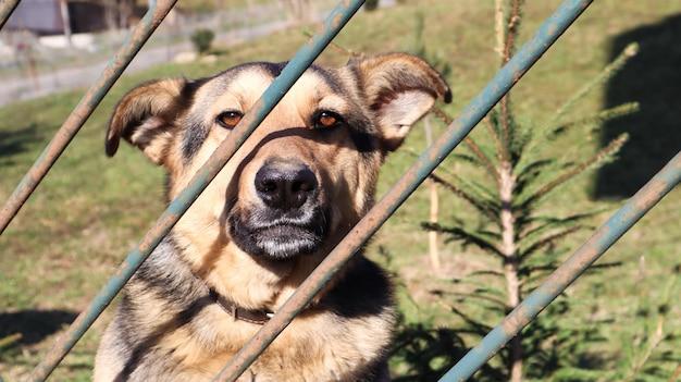 슬픈 코트라 개의 초상화는 마당에 있는 금속 울타리 뒤에 서 있습니다. 큰 갈색 개가 집의 영토에 앉아 있습니다. 가정 보안 또는 개 보호소의 개념입니다.