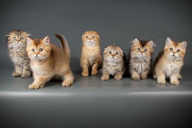 컬러 벽에 스코틀랜드 고양이의 초상화