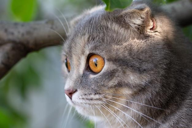 自然の中でスコティッシュフォールド猫の肖像画