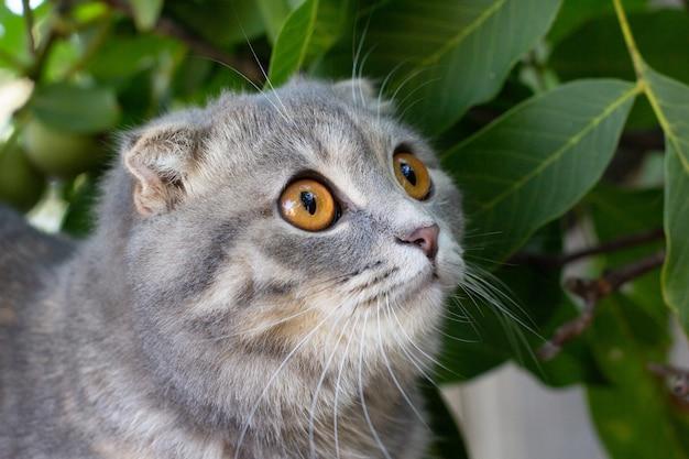 Портрет шотландской вислоухой кошки на природе