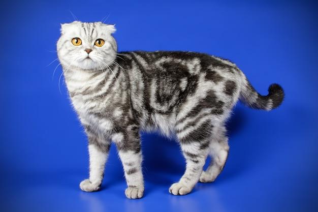 컬러 벽에 스코틀랜드 배 쇼트 헤어 고양이의 초상화 프리미엄 사진