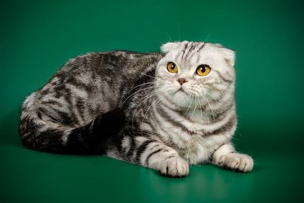 色付きの壁にスコティッシュフォールドのショートヘアの猫の肖像画