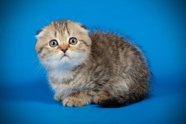 컬러 벽에 스코틀랜드 배 쇼트 헤어 고양이의 초상화