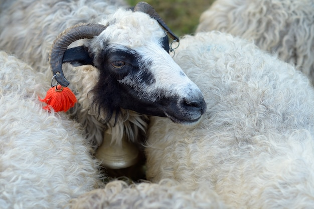 Портрет овцы