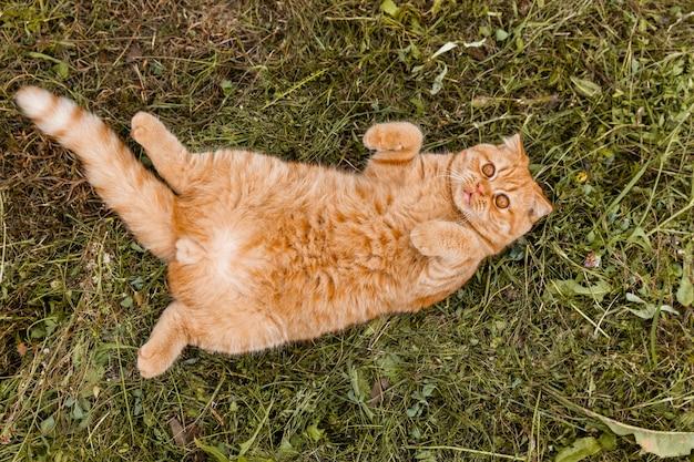小さな生姜イギリスの子猫の肖像画。猫は庭を歩きます。生後5ヶ月のイギリスの赤い猫。