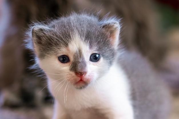 白と灰色の毛皮を持つ小さな子猫の肖像画。