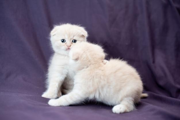 クールなミルク色の小さなスコティッシュフォールド猫の肖像画
