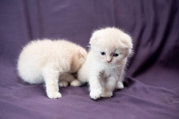 ミルク色の小さなスコティッシュフォールド猫の肖像画