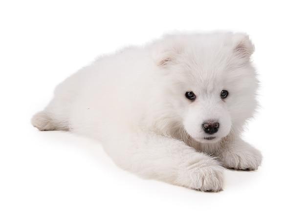 Портрет щенка смоеда на белой стене
