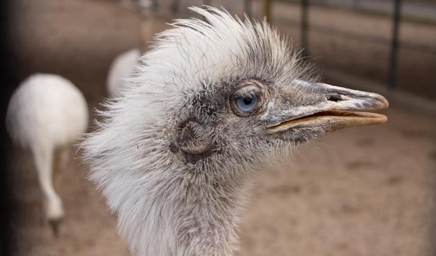 Портрет южноамериканского страуса нанду