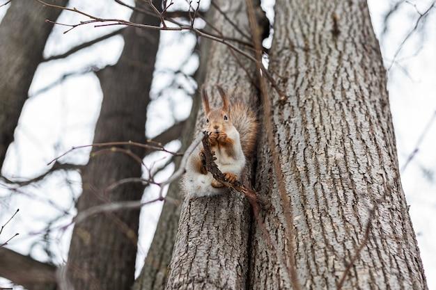 Портрет белки на стволе дерева. забавная белка сидит на стволе дерева зимой.
