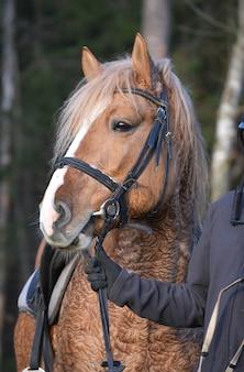 ベラルーシの馬具馬種の種馬の肖像画