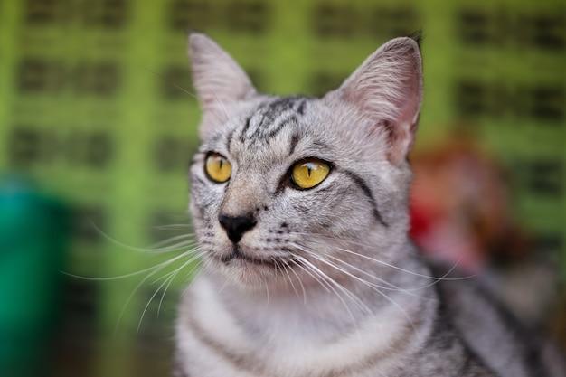 縞模様の子猫、黄色い目の猫の肖像画。何かを見てください。