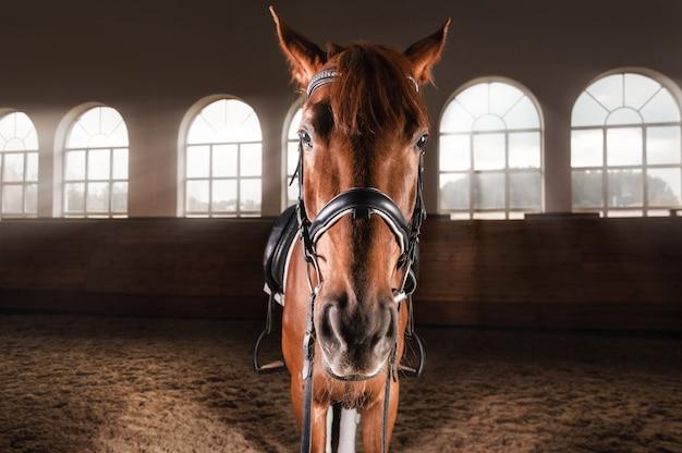 Портрет породистой лошади на манеже. концепция конного спорта. Premium Фотографии
