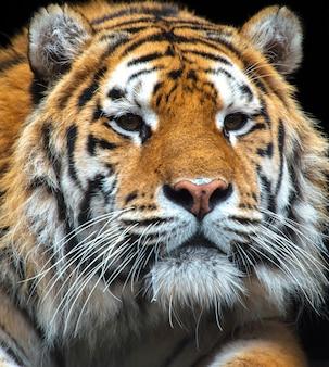 야생 서식 지에서 호랑이의 초상화