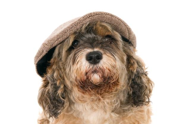 男の帽子をかぶったトルコの雑種犬の肖像画
