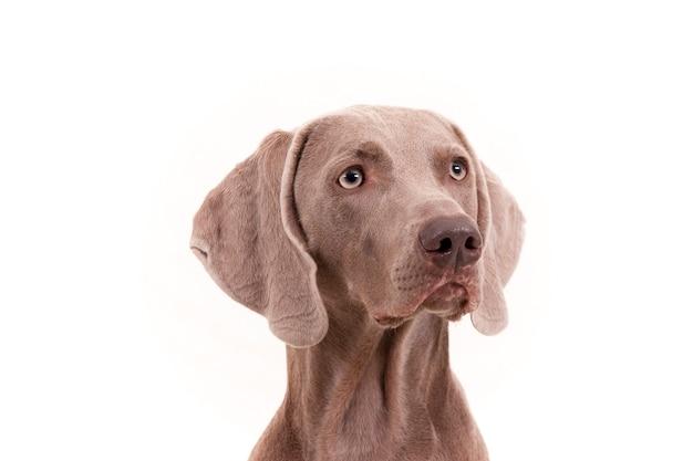 白のワイマラナー犬の肖像画。