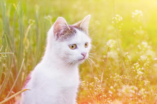 太陽の光の中で庭の緑の草のに対して白猫の肖像画