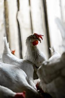 赤い房を持つ白い鶏の肖像画。鶏はその兄弟の群れの上に頭を上げました