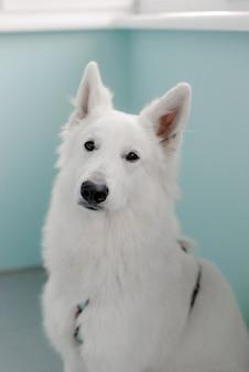家に座っている白い犬の肖像画
