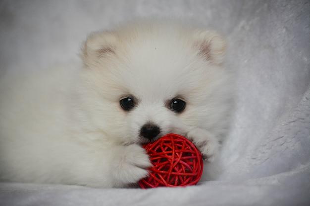 Портрет белого щенка померанского шпица