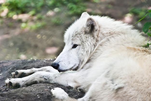 Портрет белого волка, жаркое время года