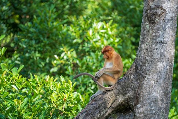 マレーシアのボルネオ島の熱帯雨林に生息する野生のテングザルまたはナサリスの幼虫の肖像画をクローズアップ。大きな鼻を持つ素晴らしい猿。
