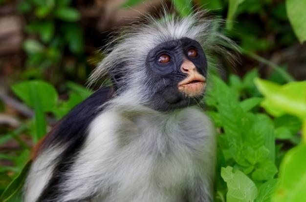 ザンジバル島ザンジバルタンザニア固有の野生のアカコロブスの肖像画