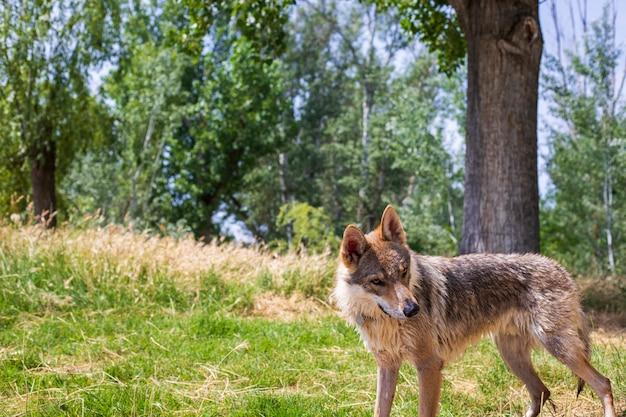 Портрет волка среди растительности