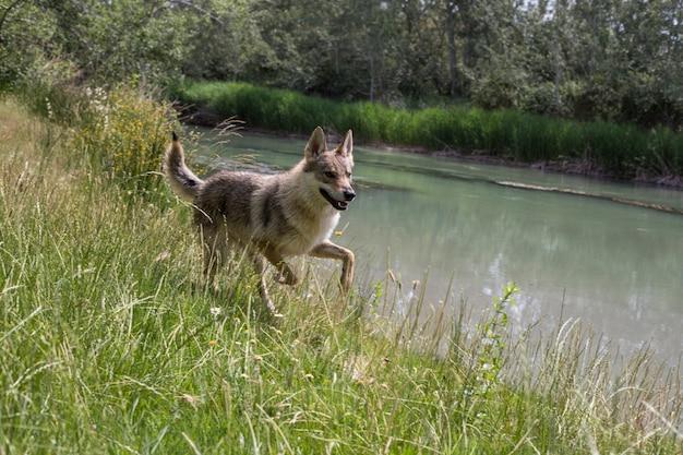 Портрет собаки-волка среди растительности
