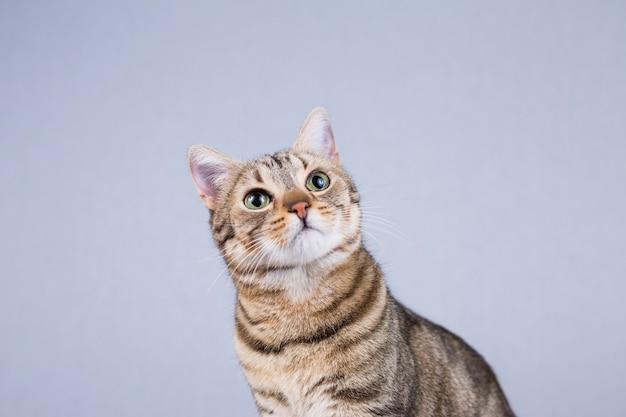 白い背景に分離された若い美しい猫の肖像画。彼は茶色と黒の毛皮と緑の目をしています。家、屋内。ライフスタイル