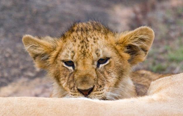 Портрет молодого льва. кения. танзания. масаи мара. серенгети.