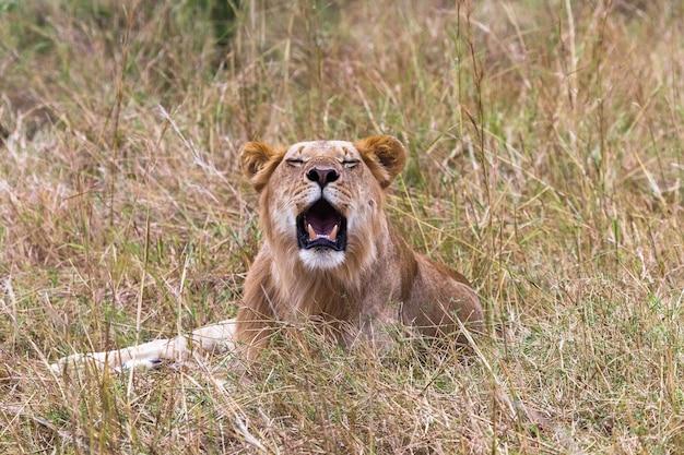ケニアアフリカを休んでいる若いライオンの肖像画